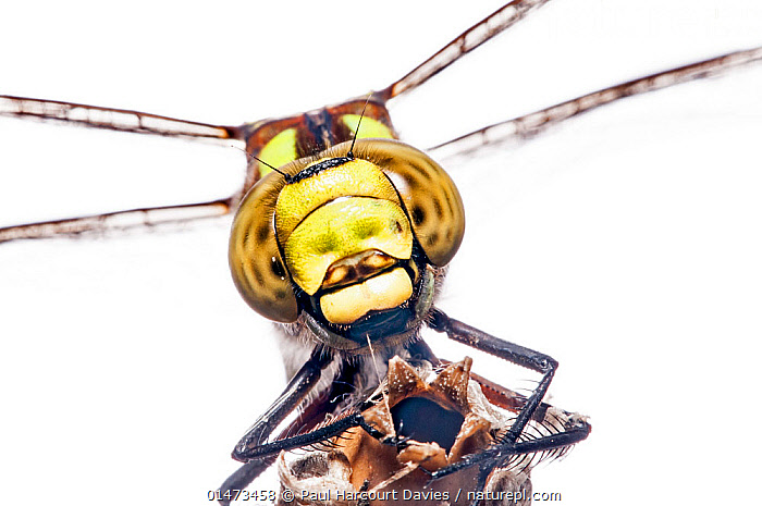 Southern hawker dragonfly (Aeshna cyanea) female, Podere Montecucco, Orvieto, Umbria, Italy, October.  ,  ANIMAL,ARTHROPOD,INSECT,PTERYGOTA,HAWKER DRAGONFLY,SOUTHERN HAWKER,ANIMALIA,ANIMAL,WILDLIFE,HEXAPODA,ARTHROPOD,INVERTEBRATE,HEXAPOD,ARTHROPODA,INSECTA,INSECT,ODONATA,PTERYGOTA,AESHNIDAE,HAWKER DRAGONFLY,HAWKER,DARNER DRAGONFLY,DARNER,DRAGONFLY,ANISOPTERA,EPIPROCTA,AESHNA,MOSAIC DARNER,AESHNA CYANEA,SOUTHERN HAWKER,BLUE HAWKER,BLUE DARNER,LIBELLULA CYANEA,AESCHNA ATSHISCHGHO,LIBELLULA VARIA,EUROPE,SOUTHERN EUROPE,SOUTH EUROPE,ITALY,UMBRIA,CUTOUT,PLAIN BACKGROUND,WHITE BACKGROUND,FRONT VIEW,VIEW FROM FRONT,PORTRAIT,FEMALE ANIMAL,DIRECT GAZE,ENDANGERED SPECIES  ,  Paul  Harcourt Davies