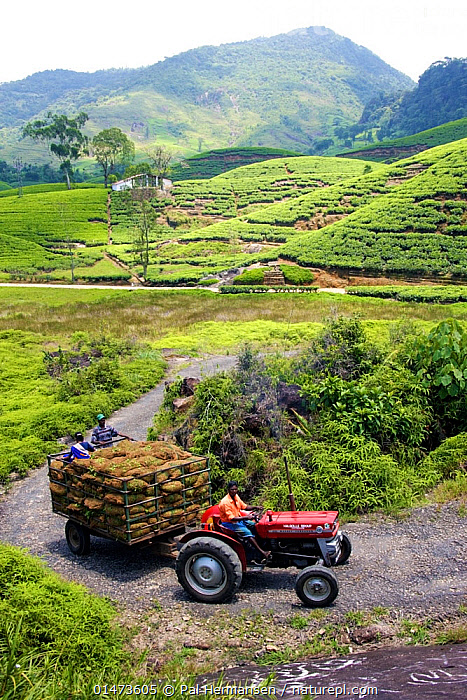 Tractor pulling load of freshly picked tea (Camellia sinensis) at tea plantation, Sri Lanka, March 2005.  ,  ASIA,INDIAN SUBCONTINENT,SRI LANKA,VERTICAL,FOODS,EQUIPMENT,FARMS,PLANTATIONS,TEA PLANTATIONS,CULTIVATED LAND,CROPLANDS,TRANSPORTATION,AUTOMOTIVE,TRANSPORT,TRANSPORTING,TRANSIT,TRANSMISSION,TRANSMIT,FARMLAND,MACHINES,MACHINE,BOOKPLATE,SEEDS OF THE WORLD  ,  Pal Hermansen