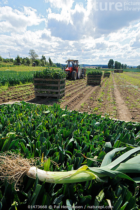 Leek harvesting (Allium ampeloprasum) at farm Akershus, Norway, August., PLANT,VASCULAR PLANT,FLOWERING PLANT,MONOCOT,WILD ONION,BROADLEAF WILD LEEK,PLANTAE,PLANT,TRACHEOPHYTA,VASCULAR PLANT,MAGNOLIOPSIDA,FLOWERING PLANT,ANGIOSPERM,SEED PLANT,SPERMATOPHYTE,SPERMATOPHYTINA,ANGIOSPERMAE,ASPARAGALES,MONOCOT,MONOCOTYLEDON,LILIANAE,AMARYLLIDACEAE,ALLIUM,WILD ONION,ONION,ALLIUM AMPELOPRASUM,BROADLEAF WILD LEEK,ALLIUM ADSCENDENS,ALLIUM ALBESCENS,ALLIUM GASPARRINII,EDIBLE,VEGETABLE,VEGETABLES,EUROPE,NORTHERN EUROPE,NORTH EUROPE,NORDIC COUNTRIES,SCANDINAVIA,NORWAY,VERTICAL,CULTIVATED LAND,CROPLANDS,FARMLAND,BOOKPLATE,SEEDS OF THE WORLD, Pal Hermansen