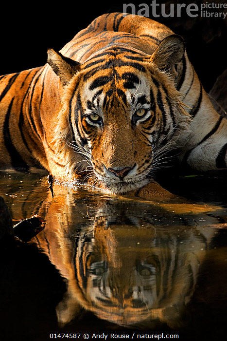 Bengal Tiger (Panthera tigris tigris) male 'Romeo T6' cooling off in waterhole during hot summer. Ranthambore National Park, India., catalogue7,Animal,Vertebrate,Mammal,Carnivore,Cat,Big cat,Tiger,Bengal tiger,Animalia,Animal,Wildlife,Vertebrate,Mammalia,Mammal,Carnivora,Carnivore,Felidae,Cat,Panthera,Big cat,Panthera tigris,Tiger,Felis tigris,Tigris striatus,Tigris regalis,Threat,Menace,Menaces,Menacing,Threatening,Threats,Nobody,Pattern,Patterned,Patterns,Serious,Asia,Indian Subcontinent,India,Close Up,Front View,View From Front,Portrait,Male Animal,Ear,Animal Ears,Ears,Animal Nose,Animal Noses,Nose,Noses,Reflection,Outdoors,Open Air,Outside,Day,Nature,Natural,Natural World,Wild,Freshwater,Waterhole,Water,Animal Behaviour,Thermoregulation,Bengal tiger,Indian tiger,Behaviour,Protected area,National Park,Whiskers,Yellow Eyes,Direct Gaze,Rajasthan,Animal marking,Ranthambore National Park,Eye colour,Endangered species,threatened,Endangered, Andy  Rouse