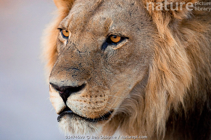 African lion (Panthera leo) male portrait, Savuti, Botswana. Taken on location for BBC Planet Earth series, 2005, ANIMAL,VERTEBRATE,MAMMAL,CARNIVORE,CAT,BIG CAT,LION,ANIMALIA,ANIMAL,WILDLIFE,VERTEBRATE,CHORDATE,MAMMALIA,MAMMAL,CARNIVORA,CARNIVORE,FELIDAE,CAT,PANTHERA,BIG CAT,PANTHERA LEO,AFRICA,SOUTHERN AFRICA,BOTSWANA,CLOSE UP,PORTRAIT,MALE ANIMAL,LION,SOUTHERN AFRICAN,BOTSWANAN, Ben Osborne