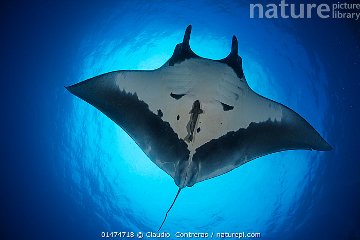 Giant Manta Ray (Manta birostris), San Benedicto Island, Revillagigedo Archipelago Biosphere Reserve (Socorro Islands), Pacific Ocean, Western Mexico. Vulnerable species., catalogue7,Animal,Vertebrate,Cartilaginous fish,Rays,Eagle rays,Manta rays,Chevron Manta Ray,Animalia,Animal,Wildlife,Vertebrate,Chondrichthyes,Cartilaginous fish,Jawed fish,Myliobatiformes,Rays,Myliobatidae,Eagle rays,Manta,Manta rays,Manta birostris,Chevron Manta Ray,Giant Manta Ray,Oceanic Manta Ray,Pacific Manta Ray,Pelagic Manta Ray,Cephalopterus manta,Manta hamiltoni,Raja birostris,Floating,Colour,Blue,White,Nobody,Length,Wide,Luminosity,Glow,Glows,Shape,Shapes,Latin America,Central America,Mexico,Close Up,Low Angle View,Tropical,Ocean,Pacific Ocean,Nature,Natural,Natural World,Endangered Species,Threatened,Marine,Underwater,Water,Reserve,Saltwater,Tropics,Protected area,Ventral view,Underside,Sealife,White colour,Vulnerable species,Sci-fi,Blue Colour,Floating on water,San Benedicto Island,Socorro Islands,Revillagigedo Archipelago Biosphere Reserve,Endangered species,threatened,Vulnerable,Marine, Claudio  Contreras