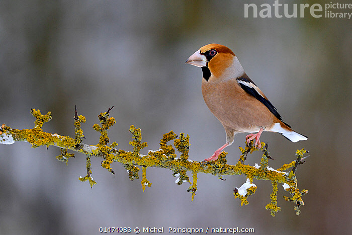Hawfinch (Coccothraustes coccothraustes) Male perched on snowy branch in winter, Moselle, France. January.  ,  ANIMAL,VERTEBRATE,BIRDS,SONGBIRD,TRUE FINCH,HOLARCTIC GROSBEAK,HAWFINCH,ANIMALIA,ANIMAL,WILDLIFE,VERTEBRATE,CHORDATE,AVES,BIRDS,PASSERIFORMES,SONGBIRD,PASSERINE,FRINGILLIDAE,TRUE FINCH,FINCH,COCCOTHRAUSTES,HOLARCTIC GROSBEAK,CARDUELINE FINCH,CARDUELINAE,COCCOTHRAUSTES COCCOTHRAUSTES,HAWFINCH,LOXIA COCCOTHRAUSTES,EUROPE,WESTERN EUROPE,FRANCE,LORRAINE,COPY SPACE,PROFILE,SIDE VIEW,SNOW,WINTER,NEGATIVE SPACE  ,  Michel  Poinsignon