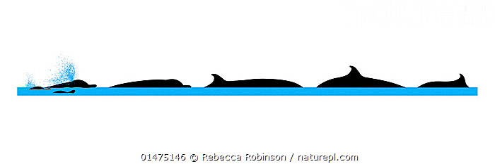 Illustration of the surface profile with blow and diving behaviour of the Indo-Pacific Beaked Whale (Indopacetus pacificus).  ,  Animal,Vertebrate,Mammal,Ceteacean,Beaked whale,Indo-pacific Beaked Whale,Animalia,Animal,Wildlife,Vertebrate,Mammalia,Mammal,Cetacea,Ceteacean,Ziphiidae,Beaked whale,Odontoceti,Toothed whales,Indopacetus,Indopacetus pacificus,Indo-pacific Beaked Whale,Longman's Beaked Whale,Tropical Bottlenose Whale,Diving,Cutout,Profile,Illustration,Back Lit,Backlit,Water Surface,Animal Behaviour,Silhouette,Behaviour,Marine  ,  Rebecca Robinson