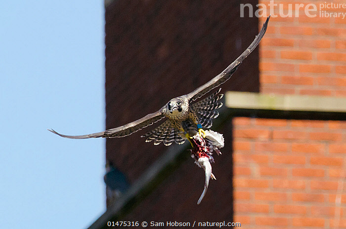 Peregrine falcon (Falco peregrinus), juvenile in flight with remains of feral pigeon. Bristol, UK. July.  ,  catalogue7,Animal,Vertebrate,Bird,Birds,Birds of prey,Falcon,Peregrine falcon,Falco rupicolis,Animalia,Animal,Wildlife,Vertebrate,Aves,Bird,Birds,Falconiformes,Birds of prey,Raptor,Falconidae,Falco,Falcon,Falco peregrinus,Peregrine falcon,Flying,Determination,Strength,Hunger,Appetite,Hungry,Nobody,Europe,Western Europe,UK,Great Britain,England,Bristol,Close Up,Front View,View From Front,Young Animal,Juvenile,Wing,Wings,City,Building,Building Exterior,Construction Material,Brick,Bricks,Outdoors,Open Air,Outside,Day,Predator,Predators,Feral,Flight,Wings spread,Wingspan,Prey,Falco rupicolis,,urban,  ,  Sam Hobson