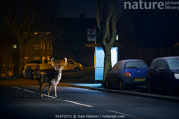 Fallow deer (Dama dama) buck crossing road in front of bus stop. London, UK. January., catalogue7,Animal,Vertebrate,Mammal,Deer,Fallow deer,Animalia,Animal,Wildlife,Vertebrate,Mammalia,Mammal,Artiodactyla,Even-toed ungulates,Cervidae,Deer,True deer,ruminantia,Ruminant,Dama,Fallow deer,Dama dama,Walking,Standing,Alertness,Alert,Surprise,Imagination,Imaginative,Out Of Context,Lost,Nobody,Europe,Western Europe,UK,Great Britain,England,London,Greater London,Male Animal,Buck,Lighting,Electric Light,Roadside,Roadsides,City,Road,Urban Road,Street,Street Scene,Streets,Bus Stop,Bus Stops,Land Vehicle,Motor Vehicle,Car,Cars,Weather,Frost,Outdoors,Open Air,Outside,Winter,Night,Nature,Natural,Natural World,Wild,Cold Weather,Odd location,Verges,Verge,Direct Gaze,Disorientated,Dividing Line, Sam Hobson