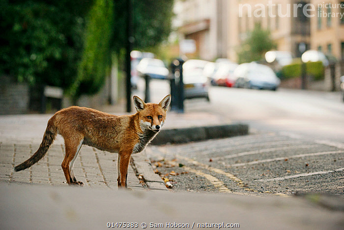 Urban Red fox (Vulpes vulpes), adult male (dog). Bristol, UK. August., high15,,Animal,Vertebrate,Mammal,Carnivore,Canid,True fox,Red fox,Animalia,Animal,Wildlife,Vertebrate,Mammalia,Mammal,Carnivora,Carnivore,Canidae,Canid,Vulpes,True fox,Vulpini,Caninae,Vulpes vulpes,Red fox,Crossing,Crossing The Road,Standing,Waiting,Alertness,Alert,Survival,Stationary,Stationery,Nobody,Europe,Western Europe,UK,Great Britain,England,Bristol,Profile,Side View,Male Animal,City,Road,Urban Road,Street,Street Scene,Streets,Road Marking,Road Lane,Road Lanes,Road Markings,Sidewalk,Pavement,Pavements,Sidewalks,Land Vehicle,Motor Vehicle,Cars,Outdoors,Open Air,Outside,Day,Nature,Natural,Natural World,Wild,Adult,Parked,Car,Automobile,,,urban,, Sam Hobson