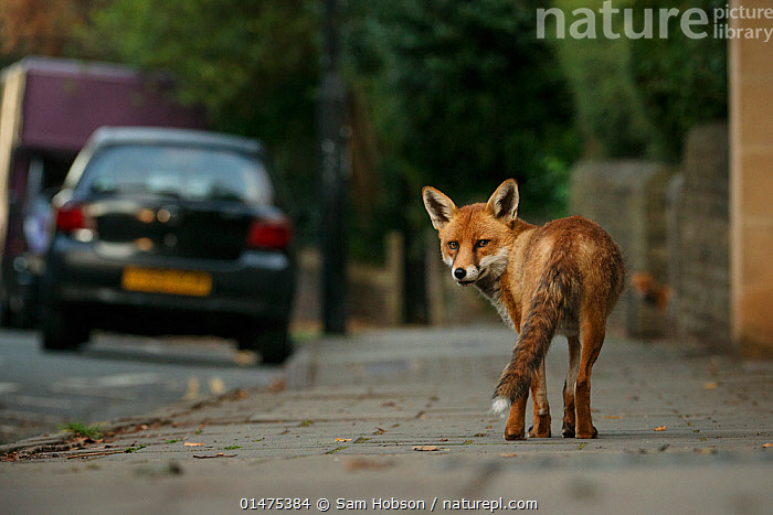 Urban Red fox (Vulpes vulpes), adult male (dog). Bristol, UK. August.  ,  high15,,Animal,Vertebrate,Mammal,Carnivore,Canid,True fox,Red fox,Animalia,Animal,Wildlife,Vertebrate,Mammalia,Mammal,Carnivora,Carnivore,Canidae,Canid,Vulpes,True fox,Vulpini,Caninae,Vulpes vulpes,Red fox,Guilt,Guilty,Regret,Regretfulness,Regrets,Nobody,Europe,Western Europe,UK,Great Britain,England,Bristol,Rear View,Male Animal,City,Road,Urban Road,Street,Street Scene,Streets,Sidewalk,Pavement,Pavements,Sidewalks,Land Vehicle,Motor Vehicle,Cars,Outdoors,Open Air,Outside,Day,Nature,Natural,Natural World,Wild,Adult,Aware,Car,Automobile,,,urban,  ,  Sam Hobson