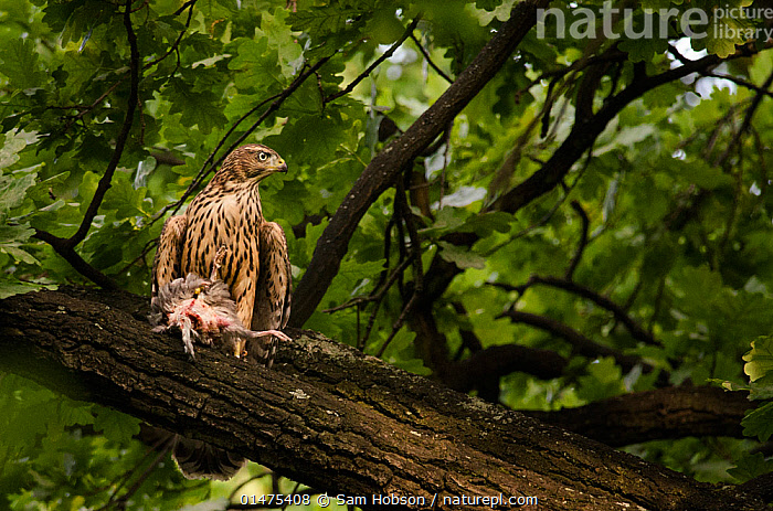 Northern goshawk (Accipiter gentilis), recently fledged juvenile with feral pigeon prey. Berlin, Germany, July. Nominated in the Melvita Nature Images Awards competition 2014., high1314,Animal,Vertebrate,Bird,Birds,Bird of prey,Northern goshawk,Animalia,Animal,Wildlife,Vertebrate,Aves,Bird,Birds,Accipitriformes,Accipitridae,Accipiter,Bird of prey,Raptor,Accipiter gentilis,Northern goshawk,Goshawk,Hawk,Glance,Glances,Glancing,Look Away,Looks Away,Alertness,Alert,Meaness,Meanness,Nobody,Distracted,Europe,Western Europe,Germany,Berlin,Young Animal,Juvenile,Plant,Bark,Branch,Branches,Leaf,Foliage,Tree,Outdoors,Open Air,Outside,Day,Animal Behaviour,Predation,Behaviour,Feral,Prey, Sam Hobson