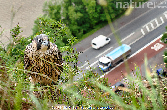 Peregrine falcon (Falco peregrinus), juvenile perched on cliff with busy road and river in background. Avon Gorge, Bristol, UK. June. Runner up in Terre Sauvage Nature's Images Awards 2013, Urban category., ANIMAL,VERTEBRATE,BIRDS,BIRDS OF PREY,FALCON,PEREGRINE FALCON,FALCO RUPICOLIS,ANIMALIA,ANIMAL,WILDLIFE,VERTEBRATE,CHORDATE,AVES,BIRDS,FALCONIFORMES,BIRDS OF PREY,RAPTOR,FALCONIDAE,FALCO,FALCON,FALCO PEREGRINUS,PEREGRINE FALCON,EUROPE,WESTERN EUROPE,UK,GREAT BRITAIN,ENGLAND,COUNTY OF BRISTOL,BRISTOL CITY,BRISTOL,HIGH ANGLE VIEW,CAMERA FOCUS,SELECTIVE FOCUS,FOCUS ON FOREGROUND,FOCUS ON FOREGROUNDS,YOUNG ANIMAL,JUVENILE,CITY,ROAD,CLIFF,YOUNG,ELEVATED VIEW,SHALLOW DEPTH OF FIELD,LOW DEPTH OF FIELD,FALCO RUPICOLIS,United Kingdom,,Urban,,,urban,, Sam Hobson