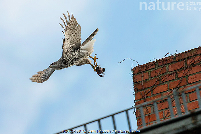 Northern goshawk (Accipiter gentilis), young adult male taking flight from building with prey. Berlin, Germany. March. Nominated in the Melvita Nature Images Awards competition 2014., high1314,Animal,Vertebrate,Bird,Birds,Bird of prey,Northern goshawk,Animalia,Animal,Wildlife,Vertebrate,Aves,Bird,Birds,Accipitriformes,Accipitridae,Accipiter,Bird of prey,Raptor,Accipiter gentilis,Northern goshawk,Goshawk,Hawk,Flying,Taking Off,Carries,Carry,On The Move,Stealth,Two,Nobody,Europe,Western Europe,Germany,Berlin,Low Angle View,Young Animal,Juvenile,Male Animal,Claw,Claws,Talon,Talons,Wing,Wings,City,Building,Construction Material,Brick,Bricks,Outdoors,Open Air,Outside,Day,Nature,Natural,Natural World,Wild,Animal Behaviour,Predation,Behaviour,Flight,Wings spread,Wingspan,Two animals,Moving,Prey,,urban,, Sam Hobson