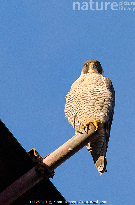 Peregrine falcon (Falco peregrinus), adult female perched on scaffolding. Bristol, UK. December.  ,  high15,,Animal,Vertebrate,Bird,Birds,Birds of prey,Falcon,Peregrine falcon,Falco rupicolis,Animalia,Animal,Wildlife,Vertebrate,Aves,Bird,Birds,Falconiformes,Birds of prey,Raptor,Falconidae,Falco,Falcon,Falco peregrinus,Peregrine falcon,Surprise,Disbelief,Nobody,Europe,Western Europe,UK,Great Britain,England,Bristol,Copy Space,Vertical,Close Up,Front View,View From Front,Low Angle View,Female animal,Equipment,Construction Equipment,Construction Frame,Construction Frames,Scaffolding,Scaffold,Scaffolds,Pole,Poles,City,Sky,Outdoors,Open Air,Outside,Day,Nature,Natural,Natural World,Wild,Adult,Negative space,Blue sky,Falco rupicolis,,,urban,  ,  Sam Hobson