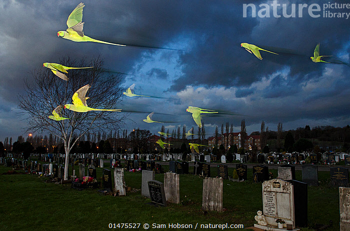 Rose-ringed / ring-necked parakeets (Psittacula krameri) in flight on way to roost in an urban cemetery, London, UK, January. Finalist in the Birds category, Wildlife Photographer of the Year Awards (WPOY competition) 2014., high1314 high15,,Animal,Vertebrate,Bird,Parrot,True parrot,Afro Asian ringnecked parakeet,Rose ringed parakeet,Animalia,Animal,Wildlife,Vertebrate,Aves,Bird,Psittaciformes,Parrot,Psittacines,Psittaculidae,True parrot,Psittacoidea,Psittacula,Afro Asian ringnecked parakeet,Asian psittacine,Psittaculini,Psittaculinae,Psittacula krameri,Rose ringed parakeet,Memory, Death, Spirit, Speed, Freedom, Afterlife,  Dreamscape, Direction, Imagination, Possibility Ring necked parakeet,Flying,Roosting,Surprise,Focus,Direction,Imagination,Out Of Context,Disobedience,Rebel,Revolutionary,Speed,Colour,Yellow,Group Of Animals,Flock,Group,Large Group,Nobody,Darkness,Europe,Western Europe,UK,Great Britain,England,London,Greater London,Photographic Effect,Long Exposure,Cemetery,City,Monument,Memorial,Gravestone,Sky,Cloud,Outdoors,Night,Odd location,Invasive,Dusk,Flight,Introduced species,Dramatic,Purpose,Dreamscape,Mutant Nature,Photography award,Parakeet,Parakeets,,urban,, Sam Hobson