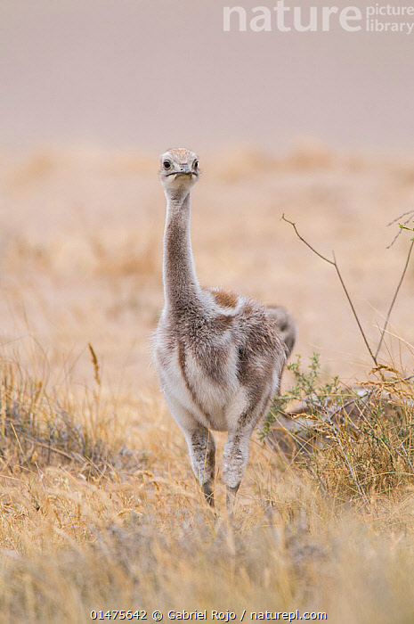 Lesser rhea (Pterocnemia pennata) chick, Valdes Peninsula, Chubut, Patagonia, Argentina., ANIMAL,VERTEBRATE,BIRDS,RHEIFORMES,RHEA,DARWIN'S RHEA,ANIMALIA,ANIMAL,WILDLIFE,VERTEBRATE,CHORDATE,AVES,BIRDS,STRUTHIONIFORMES,RHEIFORMES,RHEIDAE,RHEA,RHEA PENNATA,DARWIN'S RHEA,LESSER RHEA,PTEROCNEMIA PENNATA,STANDING,LATIN AMERICA,SOUTH AMERICA,ARGENTINA,VERTICAL,FRONT VIEW,VIEW FROM FRONT,YOUNG ANIMAL,JUVENILE,BABIES,CHICK,GRASSLAND,YOUNG,BABY,RATITE,RATITES,FLIGHTLESS, Gabriel Rojo