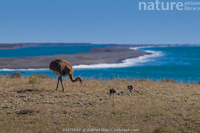 Lesser rhea (Pterocnemia pennata) with chicks on coast, Valdes Peninsula, Chubut, Patagonia, Argentina., ANIMAL,VERTEBRATE,BIRDS,RHEIFORMES,RHEA,DARWIN'S RHEA,ANIMALIA,ANIMAL,WILDLIFE,VERTEBRATE,CHORDATE,AVES,BIRDS,STRUTHIONIFORMES,RHEIFORMES,RHEIDAE,RHEA,RHEA PENNATA,DARWIN'S RHEA,LESSER RHEA,PTEROCNEMIA PENNATA,LATIN AMERICA,SOUTH AMERICA,ARGENTINA,YOUNG ANIMAL,JUVENILE,BABIES,CHICK,COAST,COASTAL,HABITAT,FEEDING,ADULT,FAMILY,YOUNG,VIEW TO SEA,BABY,PARENT BABY,RATITE,RATITES,FLIGHTLESS, Gabriel Rojo