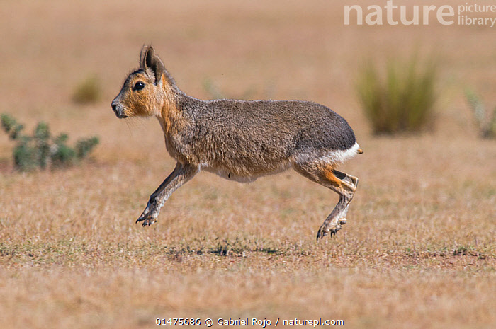 Patagonian mara / cavy (Dolichotis patagonum) stotting. Valdes Peninsula, Chubut, Patagonia, Argentina., catalogue7,Animal,Vertebrate,Mammal,Rodent,Patagonian Cavy,Animalia,Animal,Wildlife,Vertebrate,Mammalia,Mammal,Rodentia,Rodent,Erethizontidae,Dolichotis,Dolichotis patagonum,Patagonian Cavy,Patagonian Hare,Patagonian Mara,Jumping,Running,Cute,Adorable,Energetic,Colour,Brown,Mid Air,Nobody,Latin America,South America,Argentina,Profile,Close Up,Side View,Outdoors,Open Air,Outside,Day,Nature,Natural,Natural World,Wild,Grassland,Levitation,Brown Colour,Chubut, Gabriel Rojo