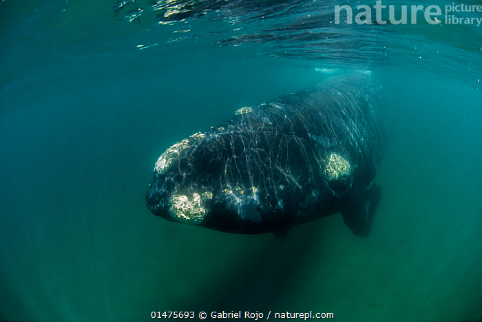 RF- Southern right whale (Eubalaena australis) underwater, Valdes Peninsula, Chubut, Patagonia, Argentina. (This image may be licensed either as rights managed or royalty free.)  ,  Animal,Vertebrate,Mammal,Ceteacean,Right whale,Right whales,Southern right whale,Animalia,Animal,Wildlife,Vertebrate,Mammalia,Mammal,Cetacea,Ceteacean,Balaenidae,Right whale,Baleen whale,Mysteceti,Eubalaena,Right whales,Eubalaena australis,Southern right whale,Balaena australis,Eubalaena antipodarum,Emergence,Slow,Blunt,Nobody,Weight,Heavy,Heaviness,Latin America,South America,Argentina,Patagonia,Copy Space,Ocean,Atlantic Ocean,Coast,Marine,Underwater,Coastal,Water,Cold Water,Saltwater,Murky,Coldwater,The Unknown,Negative space,Obscure,Barnacle,Peninsula Valdez,Chubut,RF,Royalty free,RFCAT1,RF17Q1,Marine  ,  Gabriel Rojo