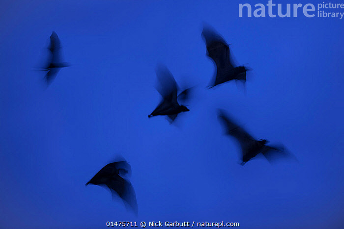 RF- Straw-coloured fruit bats (Eidolon helvum) leaving roost site at dusk. Kasanka National Park, Zambia. (This image may be licensed either as rights managed or royalty free.)  ,  Animal,Vertebrate,Mammal,Bat,Mega bat,Fruit bat,Straw coloured fruit bat,Animalia,Animal,Wildlife,Vertebrate,Mammalia,Mammal,Chiroptera,Bat,Pteropodidae,Mega bat,Megabat,Megachiroptera,Eidolon,Fruit bat,Eidolon helvum,Straw coloured fruit bat,Flying,Urgency,Group,Medium Group,Nobody,Africa,East Africa,Zambia,Photographic Effect,Long Exposure,Back Lit,Sky,Clear Sky,Outdoors,Night,Reserve,Silhouette,Protected area,National Park,Dusk,Medium group of animals,Blue sky,Leaving,Hurrying,Kasanka National Park,RF,Royalty free,RFCAT1,RF17Q1,  ,  Nick Garbutt