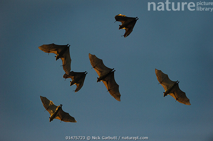 RF-  Straw-coloured fruit bats (Eidolon helvum) in flight returning to their daytime roost. Kasanka National Park, Zambia. (This image may be licensed either as rights managed or royalty free.)  ,  Animal,Vertebrate,Mammal,Bat,Mega bat,Fruit bat,Straw coloured fruit bat,Animalia,Animal,Wildlife,Vertebrate,Mammalia,Mammal,Chiroptera,Bat,Pteropodidae,Mega bat,Megabat,Megachiroptera,Eidolon,Fruit bat,Eidolon helvum,Straw coloured fruit bat,Flying,Roosting,Roost,Return,Returns,Direction,On The Move,Togetherness,Group,Medium Group,Nobody,Halloween,Africa,East Africa,Zambia,Low Angle View,Sky,Outdoors,Reserve,Protected area,National Park,Ventral view,Underside,Medium group of animals,Moving,Blue sky,Purpose,Kasanka National Park,RF,Royalty free,RFCAT1,RF17Q1,  ,  Nick Garbutt