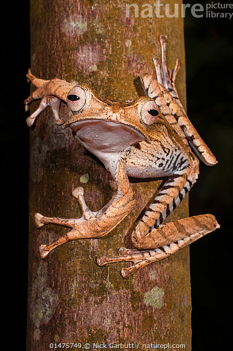 Bornean file-eared frog (Polypedates otilophus), large female. Danum Valley, Sabah, Borneo., ANIMAL,VERTEBRATE,FROG,SHRUB FROG,BORNEO EARED FROG,ANIMALIA,ANIMAL,WILDLIFE,VERTEBRATE,CHORDATE,AMPHIBIA,ANURA,FROG,RHACOPHORIDAE,SHRUB FROG,TREE FROG,POLYPODATES,POLYPEDATES OTILOPHUS,BORNEO EARED FROG,FILE EARED TREE FROG,BONY HEADED FLYING FROG,ASIA,SOUTH EAST ASIA,VERTICAL,PORTRAIT,FEMALE ANIMAL,PLANT,TREE TRUNK,NIGHT,BORNEO ISLAND,BORNEO,DIRECT GAZE,AMPHIBIAN,SABAH ,Vertical,, Nick Garbutt