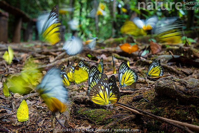 Aggregation of butterflies - mainly Bornean sawtooth (Prioneris cornelia), Yellow emigrant (Catopsilia scylla) and Orange gull (Cepora iudith) taking minerals from damp area on rainforest floor. Temburong National Park, Brunei, Borneo., ANIMAL,ARTHROPOD,INSECT,BUTTERFLY,ORANGE GULL,ANIMALIA,ANIMAL,WILDLIFE,HEXAPODA,ARTHROPOD,INVERTEBRATE,HEXAPOD,ARTHROPODA,INSECTA,INSECT,LEPIDOPTERA,LEPIDOPTERANS,PIERIDAE,BUTTERFLY,PAPILIONOIDEA,CATOPSILIA,PRIONERIS,GROUP,ASIA,SOUTH EAST ASIA,BRUNEI,PHOTOGRAPHIC EFFECT,LONG EXPOSURE,MINERAL,MINERALS,FOREST,RAINFOREST,TROPICAL RAINFOREST,WOODLAND,BORNEO ISLAND,BORNEO,FOREST FLOOR,PRIONERIS CORNELIA,CATOPSILIA SCYLLA,CEPORA,CEPORA IUDITH,ORANGE GULL, Nick Garbutt