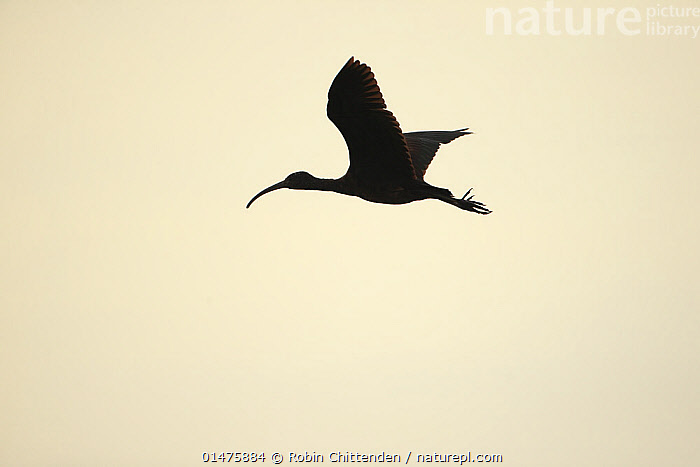 Glossy Ibis (Plegadis falcinellus) silhouetted in flight, scarce visitor to UK, Norfolk, England, UK, January, ANIMAL,VERTEBRATE,BIRDS,IBIS,GLOSSY IBIS,ANIMALIA,ANIMAL,WILDLIFE,VERTEBRATE,CHORDATE,AVES,BIRDS,PELECANIFORMES,THRESKIORNITHIDAE,PLEGADIS,IBIS,IBE,IBIDE,THRESKIORNITHINAE,PLEGADIS FALCINELLUS,GLOSSY IBIS,FLYING,EUROPE,WESTERN EUROPE,UK,GREAT BRITAIN,ENGLAND,NORFOLK,CUTOUT,BACK LIT,BACKLIT,SILHOUETTE,FLIGHT,United Kingdom, Robin Chittenden