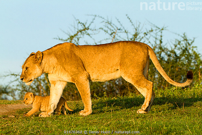 RF- Lion (Panthera leo) mother walking with cub, Masai Mara Game Reserve, Kenya (This image may be licensed either as rights managed or royalty free.)  ,  RF16Q4,,Animal,Vertebrate,Mammal,Carnivore,Cat,Big cat,Lion,African lion,Animalia,Animal,Wildlife,Vertebrate,Mammalia,Mammal,Carnivora,Carnivore,Felidae,Cat,Panthera,Big cat,Panthera leo,Walking,Contrasts,Protection,Side By Side,Two,Nobody,Size,Small,Tiredness,Africa,East Africa,Kenya,Profile,Side View,Young Animal,Juvenile,Babies,Baby Mammal,Cub,Female animal,Day,Nature,Wild,Reserve,Lion,African lion,Family,Mother baby,Mother-baby,mother,Protected area,Two animals,Parent baby,Game reserve,Protector,RF,Royalty free,RFCAT1,RF16Q4,  ,  Denis-Huot