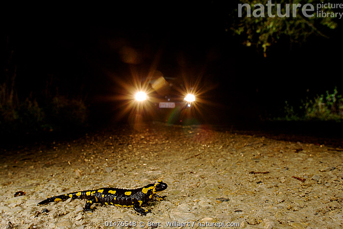 Fire Salamander (Salamandra salamandra) crossing the road with car approaching, France. November.  ,  catalogue7,Animal,Vertebrate,Salamander,True salamander,European salamander,Animalia,Animal,Wildlife,Vertebrate,Amphibia,Caudata,Salamander,Salamandridae,True salamander,Salamandra,Salamandra salamandra,European salamander,Salamandra maculosa,Proteus tritonius,Triton vulgaris,Approaching,Approach,Approaches,Approachs,Crossing,Crossing The Road,Danger,Risky,Vulnerability,Vulnerable,Vunerability,Vunerable,Oblivious,Obliviousness,Unaware,Unawareness,Unawares,Colour,Black,Yellow,Nobody,Dark,Darkness,Pattern,Patterned,Patterns,Europe,Western Europe,France,Roadside,Roadsides,Road,Land Vehicle,Motor Vehicle,Car,Cars,Part Of Vehicle,Vehicle Light,Vehicle Lights,Headlight,Headlights,Outdoors,Open Air,Outside,Night,Nature,Natural,Natural World,Wild,Transportation,Conservation,Conservation issues,Verges,Verge,Animal marking,Yellow Colour  ,  Bert  Willaert
