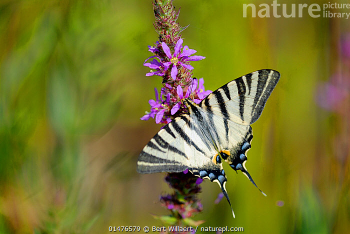 Scarce Swallowtail (Iphiclides podalirius) on a flower, France, July.  ,  ANIMAL,ARTHROPOD,INSECT,SWALLOWTAIL BUTTERFLY,SCARCE SWALLOWTAIL,ANIMALIA,ANIMAL,WILDLIFE,HEXAPODA,ARTHROPOD,INVERTEBRATE,HEXAPOD,ARTHROPODA,INSECTA,INSECT,LEPIDOPTERA,LEPIDOPTERANS,PAPILIONIDAE,SWALLOWTAIL BUTTERFLY,PAPILIONID,BUTTERFLY,IPHICLIDES,IPHICLIDES PODALIRIUS,SCARCE SWALLOWTAIL,PAPILIO PODALIRIUS,PAPILIO VIRGATUS,POLLINATION,PATTERN,PATTERNED,PATTERNS,STRIPES,EUROPE,WESTERN EUROPE,FRANCE,PLANT,FLOWER,,Dispersal,  ,  Bert  Willaert