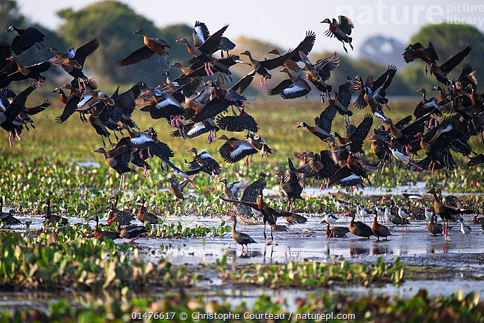 Mixed flock of White-faced Whistling Duck (Dendrocygna viduata), Black-bellied Whistling-duck (Dendrocygna autumnalis), Black-necked Stilts (Himantopus mexicanus) taking off the shallow water of Hato El Cedral, Llanos, Venezuela.  ,  ANIMAL,VERTEBRATE,BIRDS,WADER,STILT,BLACK NECKED STILT,WATER FOWL,WATERFOWL,WHISTLING DUCK,WHITE FACED WHISTLING DUCK,BLACK BELLIED WHISTLING DUCK,ANIMALIA,ANIMAL,WILDLIFE,VERTEBRATE,CHORDATE,AVES,BIRDS,CHARADRIIFORMES,RECURVIROSTRIDAE,WADER,SHOREBIRD,HIMANTOPUS,STILT,HIMANTOPUS MEXICANUS,BLACK NECKED STILT,HIMANTOPUS HIMANTOPUS MEXICANUS,ANSERIFORMES,WATER FOWL,GALLOANSERANS,WATERFOWL,ANATIDAE,DENDROCYGNA,WHISTLING DUCK,TREE DUCK,DENDROCYGNA VIDUATA,WHITE FACED WHISTLING DUCK,WHITE FACED TREE DUCK,DENDROCYGNA AUTUMNALIS,BLACK BELLIED WHISTLING DUCK,BLACK BELLIED TREE DUCK,RED BILLED TREE DUCK,RED BILLED WHISTLING DUCK,FLYING,TAKING OFF,GROUP,LATIN AMERICA,SOUTH AMERICA,VENEZUELA,WETLAND,MARSH,SWAMP,MARSHLAND,HABITAT,FLIGHT,TAKE OFF,WILDFOWL  ,  Christophe Courteau