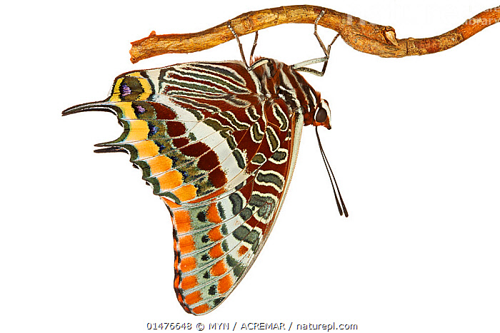 Two-tailed Pasha (Charaxes jasius) hanging from branch, Italy, March. meetyourneighbours.net project  ,  ANIMAL,ARTHROPOD,INSECT,BRUSHFOOTED BUTTERFLY,RAJAH AND PASHA BUTTERFLY,TWO TAILED PASHA,ANIMALIA,ANIMAL,WILDLIFE,HEXAPODA,ARTHROPOD,INVERTEBRATE,HEXAPOD,ARTHROPODA,INSECTA,INSECT,LEPIDOPTERA,LEPIDOPTERANS,NYMPHALIDAE,BRUSHFOOTED BUTTERFLY,FOURFOOTED BUTTERFLY,NYMPHALID,BUTTERFLY,PAPILIONOIDEA,CHARAXES,RAJAH AND PASHA BUTTERFLY,EMPEROR,LEAFWING,LEAF WING,LEAFWING BUTTERFLY,CHARAXINAE,CHARAXES JASIUS,TWO TAILED PASHA,TWOTAILED PASHA,FOXY EMPEROR,PAPILIO JASIUS,PAPILIO JASON,CHARAXES EPIJASIUS,EUROPE,SOUTHERN EUROPE,SOUTH EUROPE,ITALY,CUTOUT,PLAIN BACKGROUND,WHITE BACKGROUND,PROFILE,SIDE VIEW,PLANT,BRANCH,BRANCHES,MYN,MEET YOUR NEIGHBOURS  ,  MYN / ACREMAR