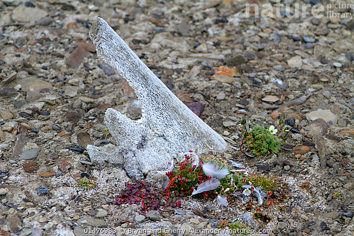 Tundra flowers including Arctic Mouse-ear Chickweed (Cerastium arcticum) and Mountain sorrel (Oxyria digyna) by an ancient whalebone on a beach at Sundesnet, Barentsoya, Svalbard, Norway.  ,  PLANT,VASCULAR PLANT,FLOWERING PLANT,DICOT,KNOTWEED,PINK,MOUSE EAR,PLANTAE,PLANT,TRACHEOPHYTA,VASCULAR PLANT,MAGNOLIOPSIDA,FLOWERING PLANT,ANGIOSPERM,SEED PLANT,SPERMATOPHYTE,SPERMATOPHYTINA,ANGIOSPERMAE,CARYOPHYLLALES,DICOT,DICOTYLEDON,CARYOPHYLLANAE,CENTROSPERMAE,POLYGONACEAE,KNOTWEED,SMARTWEED,BUCKWHEAT,OXYRIA,CARYOPHYLLACEAE,PINK,CARNATION,CERASTIUM,MOUSE EAR,MOUSE EAR CHICKWEED,EUROPE,NORTHERN EUROPE,NORTH EUROPE,NORDIC COUNTRIES,SCANDINAVIA,NORWAY,SVALBARD,ARCTIC,POLAR,ANIMAL,ANIMAL BONES,BONE,BEACH,COAST,COASTAL,WHALE HUNTING,CERASTIUM ARCTICUM,OXYRIA DIGYNA  ,  Bryan and Cherry Alexander