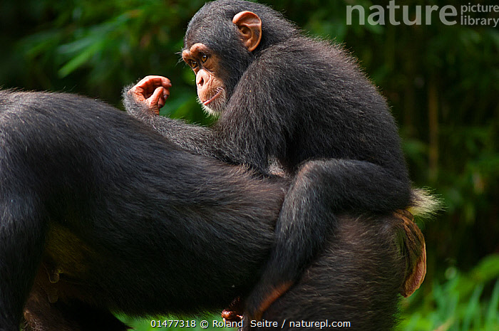Nature Picture Library - Young Chimpanzee (Pan troglodytes