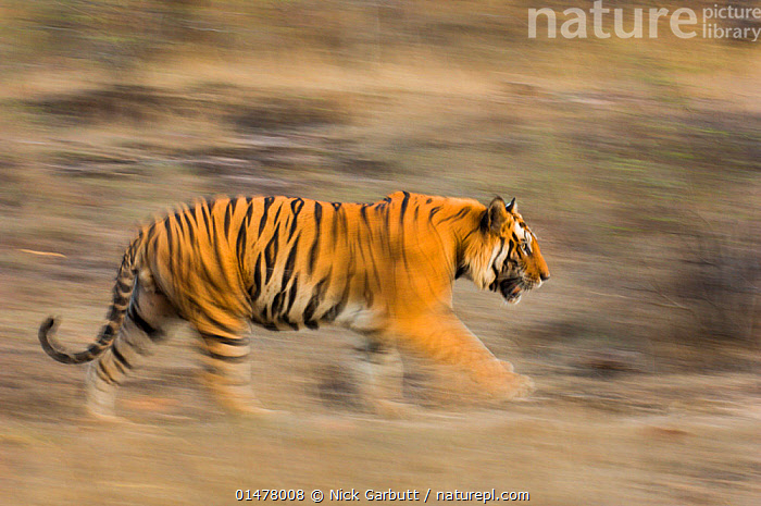 Male Bengal tiger (Panthera tigris tigris) known as 'Sundar' (B2) patrolling territory, Bandhavgarh National Park, Madhya Pradesh, India. Endangered species., high15,,Animal,Vertebrate,Mammal,Carnivore,Cat,Big cat,Tiger,Bengal tiger,Animalia,Animal,Wildlife,Vertebrate,Mammalia,Mammal,Carnivora,Carnivore,Felidae,Cat,Panthera,Big cat,Panthera tigris,Tiger,Felis tigris,Tigris striatus,Tigris regalis,Prowling,Running,Walking,Determination,Focus,On The Move,Speed,Stealth,Patrol,Patroling,Patrols,Urgency,Nobody,Asia,Indian Subcontinent,India,Profile,Side View,Photographic Effect,Blurred Motion,Blurred Movement,Male Animal,Outdoors,Open Air,Outside,Day,Nature,Natural,Natural World,Endangered Species,Threatened,Animal Behaviour,Territorial,Reserve,Bengal tiger,Indian tiger,Behaviour,Protected area,National Park,Madhya Pradesh,Moving,Bad mood,Focused,Hurrying,Bandhavgarh National Park,Endangered species,threatened,Endangered, Nick Garbutt