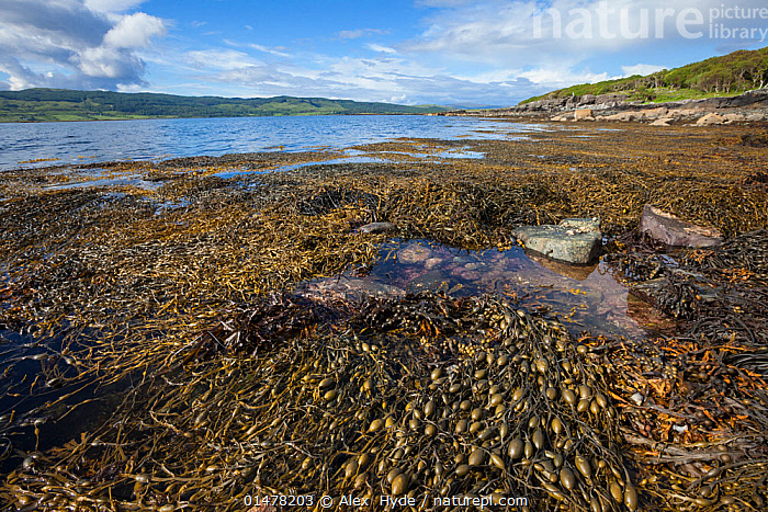Knotted / Egg Wrack seaweed (Ascophyllum nodosum) growing in middle shore zone, exposed at low tide. Isle of Mull, Scotland, UK. June.  ,  STRAMENOPHILA,YELLOW GREEN ALGAE,BROWN ALGAE,KNOTTED WRACK,CHROMISTA,STRAMENOPHILA,OCHROPHYTA,YELLOW GREEN ALGAE,HETEROKONTOPHYTA,PHAEOPHYCEAE,BROWN ALGAE,FUCALES,FUCACEAE,ASCOPHYLLUM,ASCOPHYLLUM NODOSUM,KNOTTED WRACK,ASCOPHYLLA LAEVIGATUM,FUCODIUM NODOSUM,FUCUS SCORPIOIDES,EUROPE,WESTERN EUROPE,UK,GREAT BRITAIN,SCOTLAND,SKY,CLOUD,TIDE,TIDES,LOW TIDE,TIDE OUT,LANDSCAPE,LANDSCAPES,HEBRIDES,INNER HEBRIDES,MULL,SCOTTISH ISLANDS,SCOTTISH ISLES,ISLE OF MULL,United Kingdom  ,  Alex  Hyde