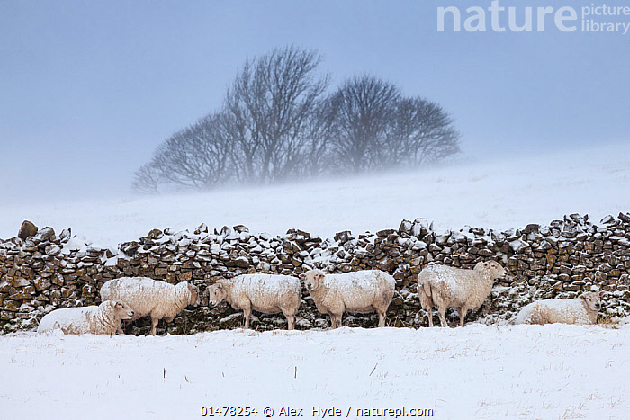 Sheep sheltering from harsh weather behind a stone wall, Peak District National Park, Derbyshire, UK. March., catalogue7,Sheltering,Resilience,Resilient,Mood,Bleak,Protection,Togetherness,Close,Together,Group,Medium Group,Nobody,Temperature,Cold,Europe,Western Europe,UK,Great Britain,England,Derbyshire,Animal,Plant,Tree,Bare Tree,Bare Trees,Wall,Stone Wall,Dry stone Wall,Windy,Snow,Weather,Snowing,Snowfall,Blizzard,Blizzards,Snow Storm,Snow Storms,Countryside,Outdoors,Open Air,Outside,Winter,Day,Livestock,Bad Weather,Reserve,Domestic animal,Domestic Sheep,Ovis aries,Severe weather,Protected area,National Park,Medium group of animals,Sheep,Protector,Mammal, Alex  Hyde