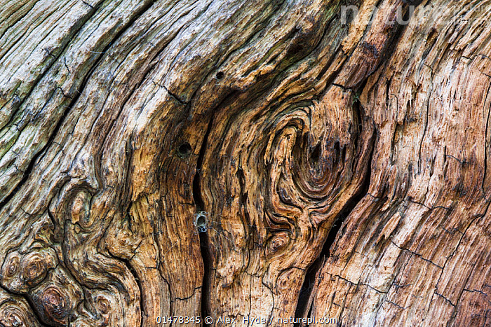 Close up of a veteran English Oak tree (Quercus robur), showing area of dead wood that is an imporant habitat for a huge range of invertebrates including web of funnel web spider. Derbyshire, UK. September., PLANT,VASCULAR PLANT,FLOWERING PLANT,ROSID,OAK,PEDUNCULATE OAK,ANIMAL,ARTHROPOD,ARACHNID,SPIDER,FUNNEL WEAVER SPIDER,PLANTAE,PLANT,TRACHEOPHYTA,VASCULAR PLANT,MAGNOLIOPSIDA,FLOWERING PLANT,ANGIOSPERM,SEED PLANT,SPERMATOPHYTE,SPERMATOPHYTINA,ANGIOSPERMAE,FAGALES,ROSID,DICOT,DICOTYLEDON,ROSANAE,FAGACEAE,QUERCUS,OAK,OAK TREE,QUERCUS ROBUR,PEDUNCULATE OAK,ENGLISH OAK TREE,FRENCH OAK,QUERCUS PEDUNCULATA,QUERCUS LONGAEVA,ANIMALIA,ANIMAL,WILDLIFE,CHELICERATA,ARTHROPOD,CHELICERATE,ARTHROPODA,ARACHNIDA,ARACHNID,ARANAE,SPIDER,AGELENIDAE,FUNNEL WEAVER SPIDER,FUNNEL WEB SPIDER,EUROPE,WESTERN EUROPE,UK,GREAT BRITAIN,ENGLAND,DERBYSHIRE,WEB,INVERTEBRATE,TREE,TREES,PLANTS,United Kingdom, Alex  Hyde