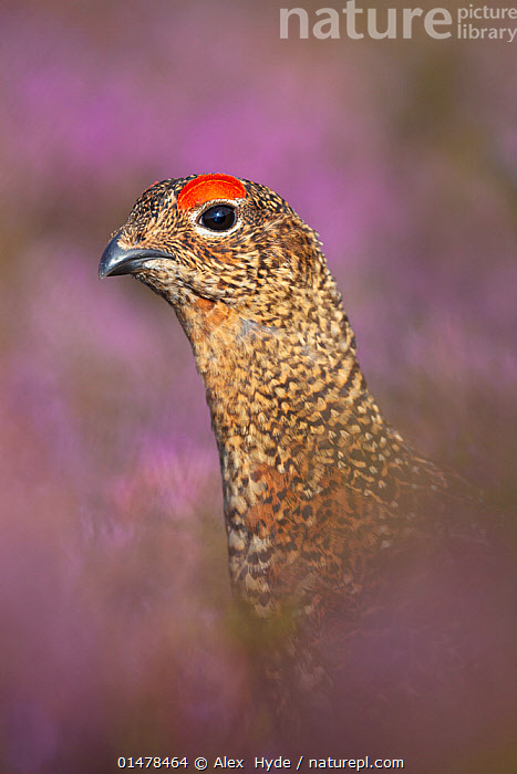 Red grouse (Lagopus lagopus scoticus) on heather moorland, Derwent Edge, Peak District National Park, Derbyshire, UK, August., catalogue7,Animal,Vertebrate,Bird,Birds,Grouse,Willow grouse,Red Grouse,Animalia,Animal,Wildlife,Vertebrate,Aves,Bird,Birds,Galliformes,Galliforms,Galloanserae,Phasianidae,Lagopus,Grouse,Tetraonidae,Tetraoninae,Lagopus lagopus,Willow grouse,Willow ptarmigan,Alertness,Alert,Black Eye,Black Eyes,Colour,Red,Nobody,Europe,Western Europe,UK,Great Britain,England,Derbyshire,Portrait,Plant,Ericale,Ericales,Heather Family,Ericaceae,Heather,Calluna Vulgaris,Heather Plant,Heather Plants,Heathers,Ling,Ling Plant,Ling Plants,Scotch Heather,Scotch Heather Plant,Scotch Heather Plants,Animal Necks,Neck,Necks,Outdoors,Open Air,Outside,Day,Beauty,Lovely,Prettiness,Nature,Natural,Natural World,Wild,Moor,Moors,Reserve,Protected area,National Park,Red Grouse,Gamebird,Gamebirds,Game bird,Game birds, Alex  Hyde