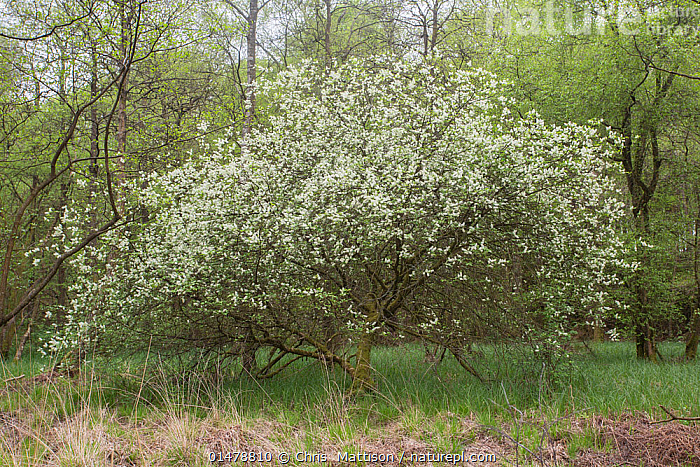 Flowering bird cherry (Prunus padus), Cumbria, UK. April.  ,  PLANT,VASCULAR PLANT,FLOWERING PLANT,ROSID,STONE FRUIT,EUROPEAN BIRD CHERRY TREE,PLANTAE,PLANT,TRACHEOPHYTA,VASCULAR PLANT,MAGNOLIOPSIDA,FLOWERING PLANT,ANGIOSPERM,SEED PLANT,SPERMATOPHYTE,SPERMATOPHYTINA,ANGIOSPERMAE,ROSALES,ROSID,DICOT,DICOTYLEDON,ROSANAE,ROSACEAE,PRUNUS,STONE FRUIT,PRUNUS PADUS,EUROPEAN BIRD CHERRY TREE,HACKBERRY,PADIUS AVIUM,EUROPE,WESTERN EUROPE,UK,GREAT BRITAIN,ENGLAND,CUMBRIA,FLOWER,BLOSSOM,BLOSSOMS,LANDSCAPE,LANDSCAPES,SPRING,TREE,TREES,PLANTS,United Kingdom  ,  Chris  Mattison