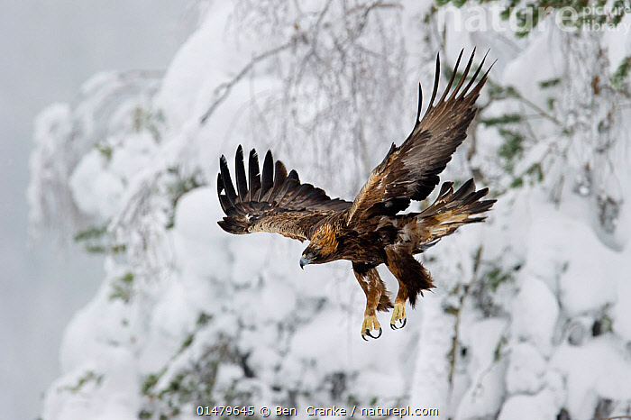 Golden Eagle (Aquila chrysaetos) in flight, Finland.  February.  ,  high15,,Animal,Vertebrate,Bird,Birds,True eagle,Golden eagle,Animalia,Animal,Wildlife,Vertebrate,Aves,Bird,Birds,Accipitriformes,Accipitridae,Aquila,True eagle,True eagles,Eagle,Bird of prey,Raptor,Aquila chrysaetos,Golden eagle,Flying,Moving Down,Taking Off,Courage,Brave,Bravery,Daring,Determination,Focus,Colour,Brown,Nobody,Europe,Northern Europe,North Europe,Nordic Countries,Finland,Plant,Tree,Wing,Wings,Snow,Outdoors,Open Air,Outside,Winter,Day,Predator,Predators,Flight,Wings spread,Wingspan,Moving,Focused,Brown Colour,  ,  Ben  Cranke