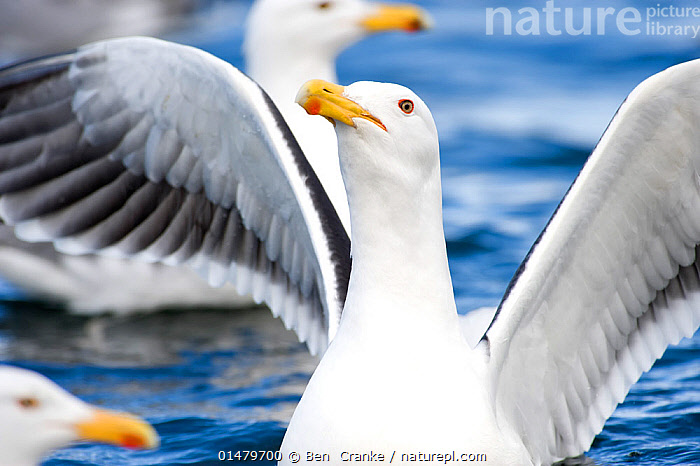 European Herring Gull (Larus argentatus) landing on the waters of a fjord,  Norway, May.  ,  high15,,Animal,Vertebrate,Bird,Birds,Gull,Larinae,Herring gull,Animalia,Animal,Wildlife,Vertebrate,Aves,Bird,Birds,Charadriiformes,Laridae,Gull,Seabird,Larus,Larinae,Larus argentatus,Herring gull,Praying,Pray,Prayer,Prayers,Worship,Worshipping,Landing,Head Back,Head Cocked,Few,Three,Group,Nobody,Europe,Northern Europe,North Europe,Nordic Countries,Scandinavia,Norway,Close Up,Front View,View From Front,Portrait,Animal Necks,Neck,Necks,Beak,Beaks,Wing,Wings,Fjord,Fjords,Outdoors,Open Air,Outside,Day,Water,Seagulls,Wings spread,Wingspan,Three Animals,  ,  Ben  Cranke