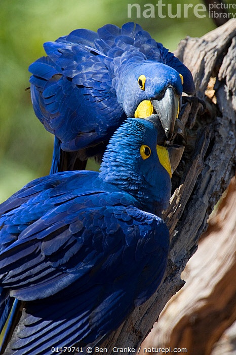 Hyacinth Macaws (Anodorhynchus hyacinthinus) grooming each other, Piaui, Brazil.  August.  ,  high15,,Animal,Vertebrate,Bird,Birds,Parrot,True parrot,Macaw,Hyacinth macaw,Animalia,Animal,Wildlife,Vertebrate,Aves,Bird,Birds,Psittaciformes,Parrot,Psittacines,Psittacidae,True parrot,Psittacoidea,Anodorhynchus,Macaw,Neotropical parrots,Arini,Arinae,Anodorhynchus hyacinthinus,Hyacinth macaw,Grooming,Help,Colour,Blue,Two,Nobody,Vibrant Colour,Affectionate,Affection,Latin America,South America,Brazil,Close Up,Beak,Beaks,Outdoors,Open Air,Outside,Day,Animal Behaviour,Behaviour,Two animals,Blue Colour,Piaui,Mutualism,Endangered species,threatened,Endangered  ,  Ben  Cranke