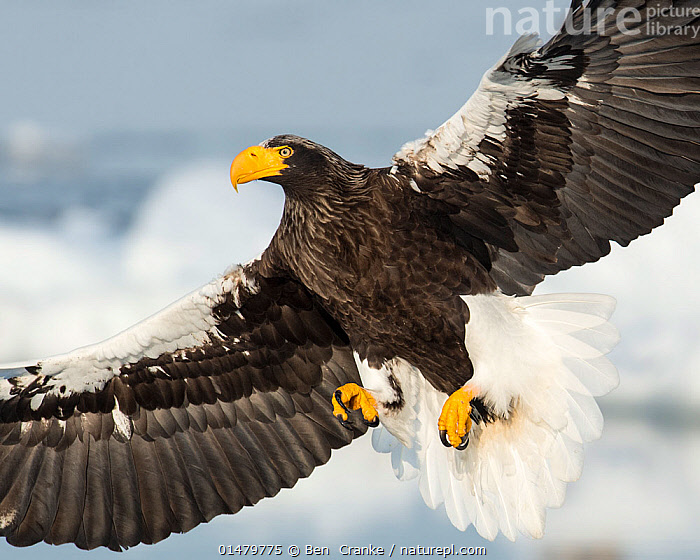Steller's Sea Eagle (Haliaeetus pelagicus) in flight, Hokkaido, Japan.  February.  ,  high15,,Animal,Vertebrate,Bird,Birds,Sea eagle,Steller's sea eagle,Animalia,Animal,Wildlife,Vertebrate,Aves,Bird,Birds,Accipitriformes,Accipitridae,Haliaeetus,Sea eagle,Eagle,Bird of prey,Raptor,Haliaeetus pelagicus,Steller's sea eagle,White shouldered sea eagle,Stellers sea eagle,Flying,Alertness,Alert,Majestic,Strength,Colour,Yellow,Nobody,Asia,East Asia,Japan,Hokkaido,Close Up,Beak,Beaks,Wing,Wings,Outdoors,Open Air,Outside,Winter,Day,Nature,Natural,Natural World,Power In Nature,Power,Powerful,Flight,Ventral view,Underside,Wings spread,Wingspan,Yellow Colour,Endangered species,threatened,Vulnerable  ,  Ben  Cranke