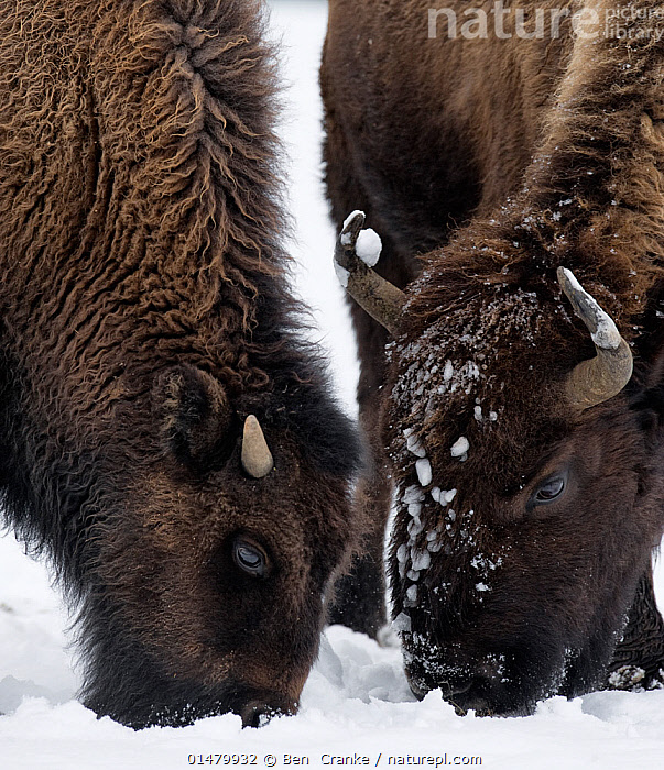 American Bison (Bison bison) foraging in the snow, Yellowstone National Park, Wyoming, USA.  January.  ,  high15,,Animal,Vertebrate,Mammal,Bovid,Bison,American Bison,American,Animalia,Animal,Wildlife,Vertebrate,Mammalia,Mammal,Artiodactyla,Even-toed ungulates,Bovidae,Bovid,ruminantia,Ruminant,Bison,Bison bison,American Bison,American buffalo,Foraging,Togetherness,Close,Together,Colour,Brown,Two,Nobody,Horned,Temperature,Cold,North America,USA,Western USA,Wyoming,Head To Head,Close Up,Hair,Fur,Snow,Outdoors,Open Air,Outside,Winter,Day,Feeding,Grazing,Reserve,Abstract,Abstracts,Protected area,National Park,Horn,Two animals,Yellowstone National Park,Bending,Bending forwards,American,Brown Colour,Animal Hair,United States of America,  ,  Ben  Cranke