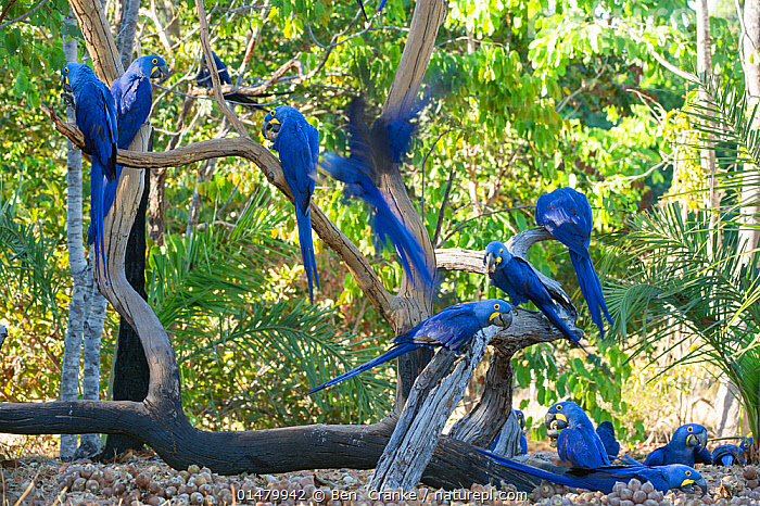 Hyacinth Macaw (Anodorhynchus hyacinthinus) group grooming and feeding on palm nuts, Piaui, Brazil.  July.  ,  high15,,Animal,Vertebrate,Bird,Birds,Parrot,True parrot,Macaw,Hyacinth macaw,Animalia,Animal,Wildlife,Vertebrate,Aves,Bird,Birds,Psittaciformes,Parrot,Psittacines,Psittacidae,True parrot,Psittacoidea,Anodorhynchus,Macaw,Neotropical parrots,Arini,Arinae,Anodorhynchus hyacinthinus,Hyacinth macaw,Grooming,Preen,Preens,Friendship,Togetherness,Close,Together,Colour,Blue,Group,Large Group,Nobody,Vibrant Colour,Latin America,South America,Brazil,Outdoors,Open Air,Outside,Day,Animal Behaviour,Feeding,Behaviour,Blue Colour,Piaui,Palm Nut,Endangered species,threatened,Endangered  ,  Ben  Cranke