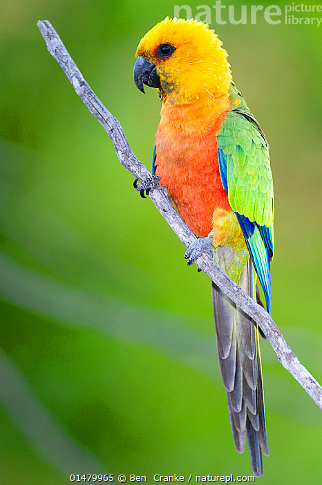 Jandaya Parakeet (Aratinga jandaya)  perched on a tree branch, Piaui, Brazil.  August.  ,  high15,,Animal,Vertebrate,Bird,Birds,Parrot,True parrot,Conure,Jandaya conure,Animalia,Animal,Wildlife,Vertebrate,Aves,Bird,Birds,Psittaciformes,Parrot,Psittacines,Psittacidae,True parrot,Psittacoidea,Aratinga,Conure,Neotropical parrots,Arini,Arinae,Aratinga jandaya,Jandaya conure,Jandaya parakeet,Yellow headed parakeet,Flaming parakeet,Colour,Yellow,Colourful,Colorful,Nobody,Latin America,South America,Brazil,Profile,Side View,Portrait,Plant,Branch,Branches,Feather,Feathers,Outdoors,Open Air,Outside,Day,Tail Feather,Negative space,Yellow Colour,Piaui,  ,  Ben  Cranke