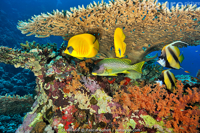 Pair of Masked butterflyfish (Chaetodon semilarvatus), pair of Red Sea bannerfish (Heniochus intermedius) and Blackspotted sweetlips (Plectorhinchus gaterinus) under a hard coral table (Acropora) Sudan. Red Sea.  ,  ANIMAL,CNIDARIAN,ANTHROZOAN,HARD CORAL,CORAL,ACROPORA CORAL,VERTEBRATE,RAY FINNED FISH,PERCOMORPHI,BUTTERFLYFISH,BANNERFISH,ADDIS BUTTERFLYFISH,GRUNT,SWEETLIP,BLACKSPOTTED RUBBERLIP,RED SEA BANNERFISH,ANIMALIA,ANIMAL,WILDLIFE,CNIDARIA,CNIDARIAN,COELENTRERATA,ANTHOZOA,ANTHROZOAN,SCLERACTINIA,HARD CORAL,ACROPORIDAE,CORAL,ACROPORA,ACROPORA CORAL,VERTEBRATE,CHORDATE,ACTINOPTERYGII,RAY FINNED FISH,OSTEICHTHYES,BONY FISH,FISH,PERCIFORMES,PERCOMORPHI,ACANTHOPTERI,CHAETODONTIDAE,BUTTERFLYFISH,HENIOCHUS,BANNERFISH,HENIOCHUS INTERMEDIUS,CHAETODON,CHAETODON SEMILARVATUS,ADDIS BUTTERFLYFISH,BLUECHEEK BUTTERFLYFISH,GOLDEN BUTTERFLYFISH,REDLINED BUTTERFLYFISH,YELLOW BUTTERFLYFISH,CHAETODON MELANOPOMA,HAEMULIDAE,GRUNT,PLECTORHINCHUS,SWEETLIP,RUBBERLIP,PLECTORHINCHUS GATERINUS,BLACKSPOTTED RUBBERLIP,BLACK SPOTTED GRUNT,BLACKSPOTTED SWEETLIPS,SCIAENA GATERINA,SCIAENA ABUMGATERIN,GATERIN GATERINUS,SHELTERING,AFRICA,NORTH AFRICA,NORTHERN AFRICA,SUDAN,REPUBLIC OF THE SUDAN,NORTH SUDAN,TROPICAL,REEF,REEFS,CORAL REEF,CORAL REEFS,RED SEA,MARINE,UNDERWATER,SALTWATER,SEA,TROPICS,RED SEA BANNERFISH,INVERTEBRATE,INVERTEBRATES,MARINE  ,  Pascal Kobeh