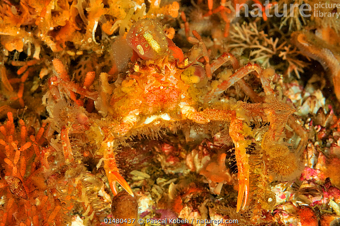 Nature Picture Library Slender Graceful Decorated Crab Oregonia