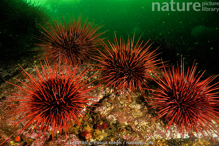 Underwater reef covered with a colony of Red sea urchins (Strongylocentrotus franciscanus), Alaska, USA, Gulf of Alaska. Pacific ocean.  ,  ANIMAL,ECHINODERM,SEA URCHIN,RED SEA URCHIN,GIANT RED SEA URCHIN,ANIMALIA,ANIMAL,WILDLIFE,ECHINODERMATA,ECHINODERM,ECHINOIDEA,SEA URCHIN,CAMARODONTA,STRONGYLOCENTROTIDAE,STRONGYLOCENTROTUS,STRONGYLOCENTROTUS FRANCISCANUS,RED SEA URCHIN,MESOCENTROTUS,MESOCENTROTUS FRANCISCANUS,GIANT RED SEA URCHIN,TEMPERATURE,NORTH AMERICA,USA,WESTERN USA,ALASKA,OCEAN,PACIFIC OCEAN,MARINE,UNDERWATER,COLD WATER,SALTWATER,COLDWATER,MARINE,INVERTEBRATE,INVERTEBRATES  ,  Pascal Kobeh