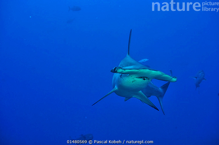 Scalloped hammerhead (Sphyrna lewini), Cocos Island , Costa Rica. Pacific Ocean., ANIMALIA,ANIMAL,WILDLIFE,VERTEBRATE,CHORDATE,CHONDRICHTHYES,CARTILAGINOUS FISH,JAWED FISH,CACHARHINIFORMES,GROUND SHARK,SPHYRNIDAE,HAMMERHEAD SHARKS,HAMMERHEADS,SPHYRNA,SPHYRNA LEWINI,SCALLOPED HAMMERHEAD SHARK,LATIN AMERICA,CENTRAL AMERICA,COSTA RICA,TROPICAL,MARINE,UNDERWATER,SALTWATER,BIODIVERSITY HOTSPOTS,BIODIVERSITY HOTSPOT,TROPICS,SHARK,COCOS ISLAND NATIONAL PARK,ANIMALS,VERTEBRATES,CHORDATES,CARTILAGINOUS FISHES,JAWED FISHES,GROUND SHARKS,HAMMERHEADS,SHARKS,ANIMAL,VERTEBRATE,CARTILAGINOUS FISH,GROUND SHARK,HAMMERHEAD SHARKS,SCALLOPED HAMMERHEAD SHARK,CENTRAL-AMERICA, Pascal Kobeh